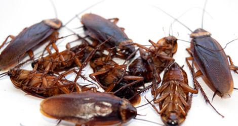 Cockroach-Treatments