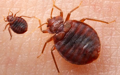 5 Main Infestation Spots Where Bed Bugs Are Generally Found